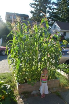 My daughter Lola stands in front of the corn that I grew in my front yard in Seattle a few years back. The corn grew tall but ran out of time (cold wet fall comes too soon here) to fully mature.
