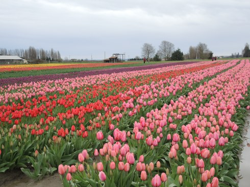 Lots of pink tulips.